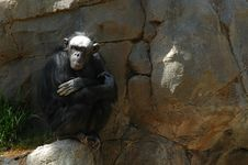 Free Chimpanzee Zen Royalty Free Stock Photography - 600657