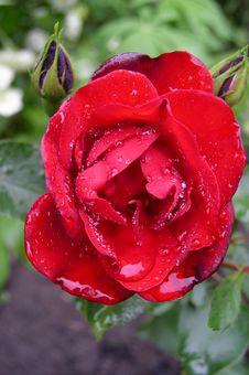 Free Rose Stock Photo - 601140