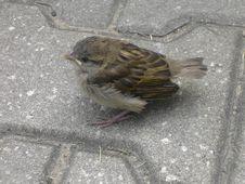 Free Urban Sparrow Royalty Free Stock Image - 601146