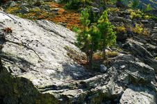 Small Firs On The Big Stone. Stock Photography