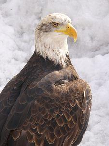 Free White Eagle Royalty Free Stock Photos - 602218