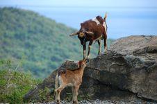 Goat Battle Royalty Free Stock Image