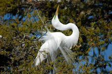 Free Common Egret Stock Photography - 602732