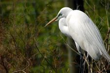 Free Common Egret Stock Photos - 602733