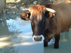 Free Cow Stock Images - 604014