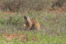 Free Yellowtail Mongoose Royalty Free Stock Photography - 604027