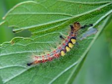 Free Caterpillar Of Butterfly Orgyia Antiqua. Royalty Free Stock Image - 604106