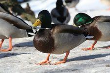 Free Ducks Royalty Free Stock Photos - 604268