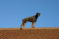 Free Dog On A Hot Tiled Roof Stock Image - 604461