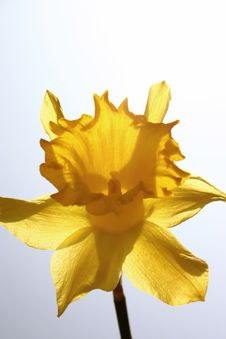 Free Daffodil Royalty Free Stock Photos - 604478