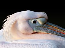 Free Pelican S Head Royalty Free Stock Photo - 604755