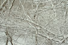 Free Snow-covered Branches Royalty Free Stock Photography - 604947