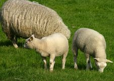 Free Grazing Family Of Sheep Stock Photos - 605173