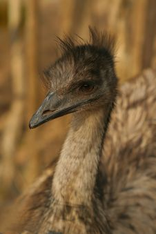 Free Brown Emu Stock Photo - 605630