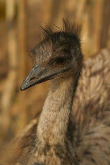 Brown Emu Stock Photo