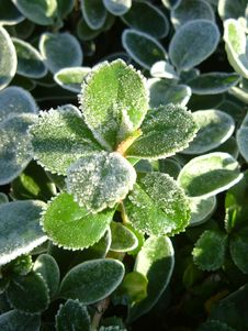 Free Frosty Leaves Royalty Free Stock Photos - 605868