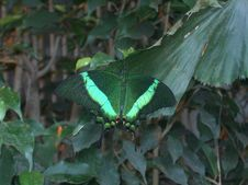 Free Green Butterfly Royalty Free Stock Photography - 606207