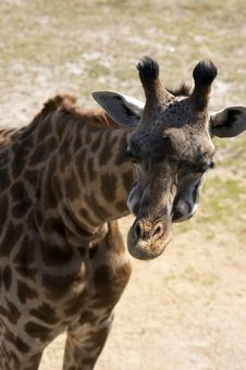 Free Giraffe Stock Image - 606291