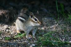 Free Chipmunk Royalty Free Stock Photo - 606365