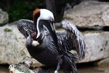 Free Brown Pelican Stock Photography - 606412