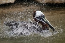 Free Brown Pelican Stock Photos - 606413