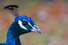 Free Peacock Head Royalty Free Stock Photos - 606488
