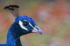 Free Peacock Head Royalty Free Stock Photos - 606488
