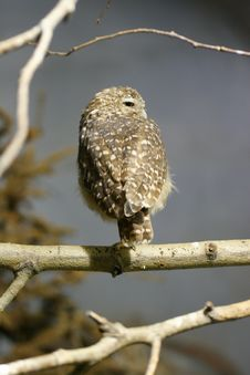 Free Owl In A Tree Royalty Free Stock Images - 606489