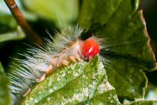 Tussock Moth Caterpillar Stock Photo