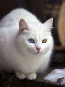 Free Portrait Of A Cat With Different Eyes Stock Photo - 607430
