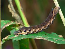 Free Caterpillar Of Butterfly Deilephila Elpenor On Chamaenerion Angustifolium Stock Image - 607461