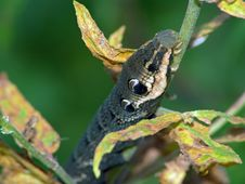 Free Caterpillar Of Butterfly Deilephila Elpenor. Stock Photos - 607463