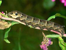 Free Caterpillar Of Butterfly Deilephila Elpenor. Stock Image - 607611