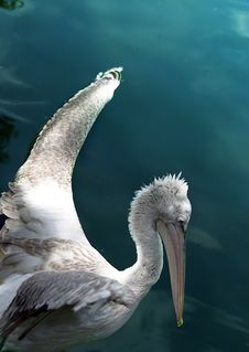 Free The Flying Up Pelican Stock Image - 607621