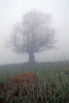 Free A Fog Tree Stock Image - 607821