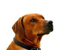 Free Ridgeback Stock Photography - 607822