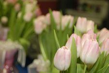 Free Pink Tulips Stock Image - 607901
