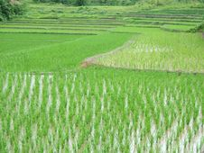 Free Asian Lanscape - Rice Plantation Royalty Free Stock Images - 607949