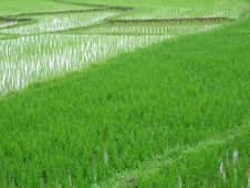 Free Rice Plantation Stock Photo - 607950