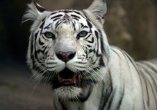 Free White Tiger Stock Image - 608001