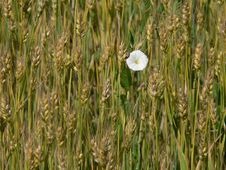 Free White Flower On A Wheat Field Stock Images - 608304