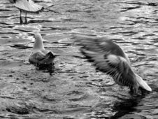 Flying Sea-gull Stock Photography