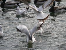 Free Sea-gulls Royalty Free Stock Photos - 608608