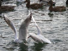 Free Take-off Sea-gulls Royalty Free Stock Images - 608609