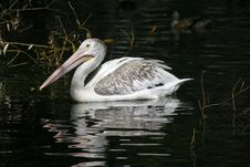 Free Pelican Royalty Free Stock Image - 608696