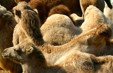 Free Cool Camels Royalty Free Stock Image - 608776