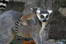 Free Ringtail Lemur Stock Photography - 608782
