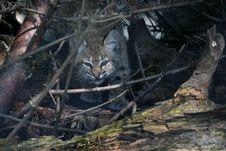 Bobcat Kitten Stock Photos