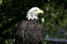 Free Bald Eagle Stock Images - 608784