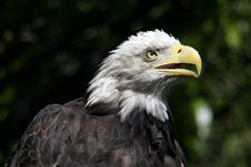 Free Eagle Head Royalty Free Stock Photo - 608785
